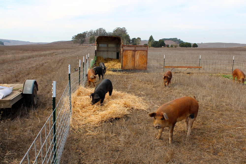 Duroc and Gloucester Old Spot Pigs
