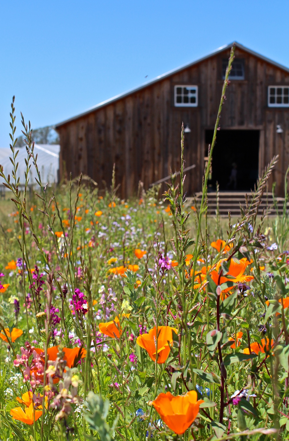 Wildflowers in from of the barn