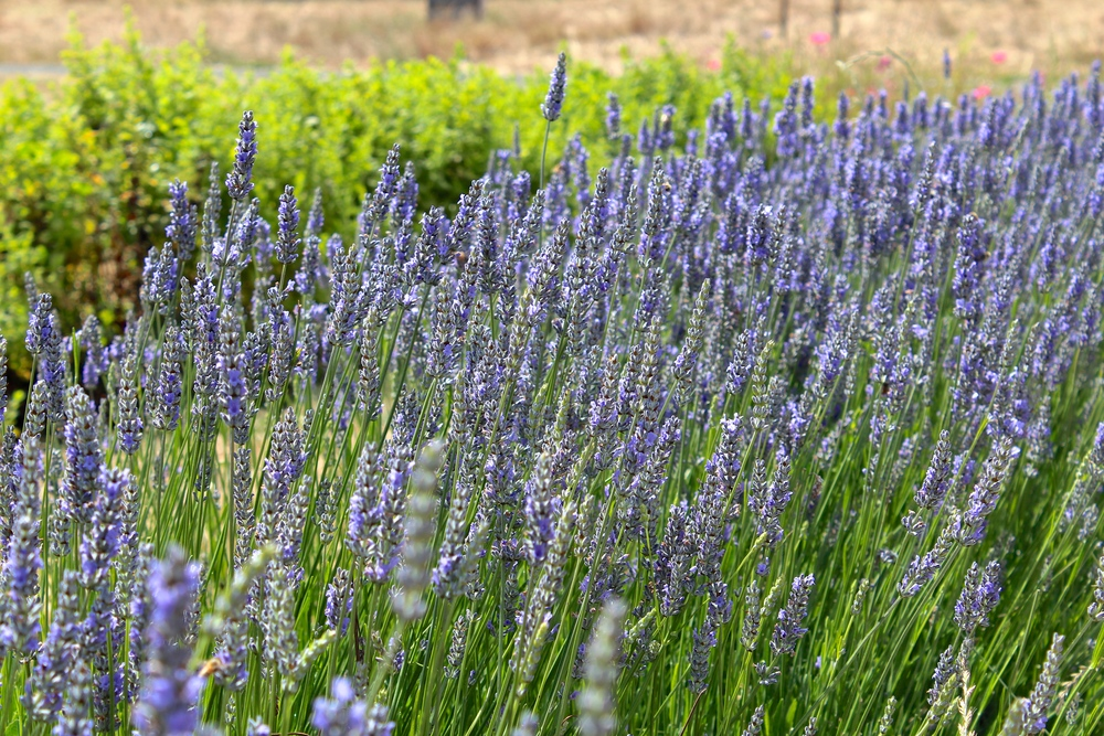 The lavender was full if bees but they were hard to capture in a photo. Can you spot them?