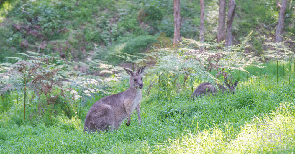 Eastern Grey Kangaroos in the wild! So fun to see!