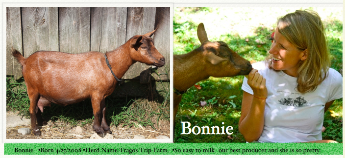 Bonnie was the first goat we ever bought with Don Pedro. They were best friends. Sadly in April 2016, she was the first goat in our herd to die. We will really miss her so much and are forever thankful for all she taught us about love, life and loss. Her kids Junie B. Jones and Matilda are still at the farm and will continue to create Bonnie grandchildren who will every year no doubt make us think of her and smile.