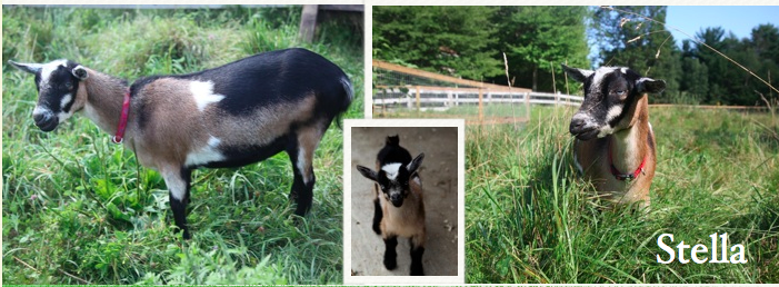 Born 4/3/12 to Sonnet  on Sunflower Farm * Tremendous udder and blue eyes * a great goat all around * 2 bucklings in 2014, 3 does in 2015