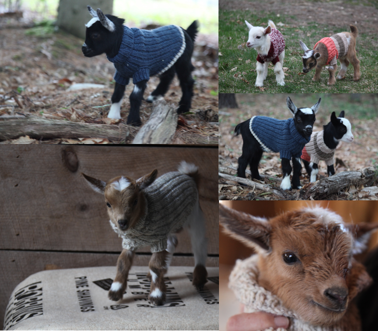 GOAT SWEATER PATTERN -Would you Like to Knit your own Nigerian Dwarf Goat Sweater?  Donate whatever seems fair to our No Cull Farm by clicking button above and you will then be taken to a Document with the Pattern designed by Stella for our kids! If you have any problems, please email us at sunflowerfarmcreamery@gmail.com and we will send you the pattern as a PDF file.  Please share photos of your finished sweater designs and goats on our Facebook page!