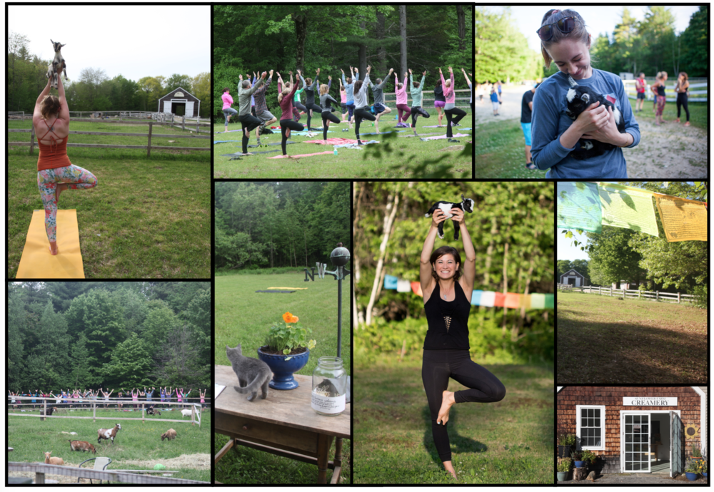 HOPE TO SEE YOU for DONATION ALL-LEVELS yoga in the field!   Yoga in the field Thursdays 5:30-6:30 June, July & August. Do yoga right next to the goat pasture then get to know them after class. All classes are donation, all level classes and end with goat snuggles. Note there are way more babies in June (50ish!) and usually only two kids left by August. No need to register ahead, just come on by. If you can pull all the way in behind the barn, that will help us keep parked cars off the road. And... since the self serve fridge is open Fri-Sun, people who attend yoga get early dibs on all the weekends treats! Hope to see you all back again this summer and to meet many new folks in the field as well.
