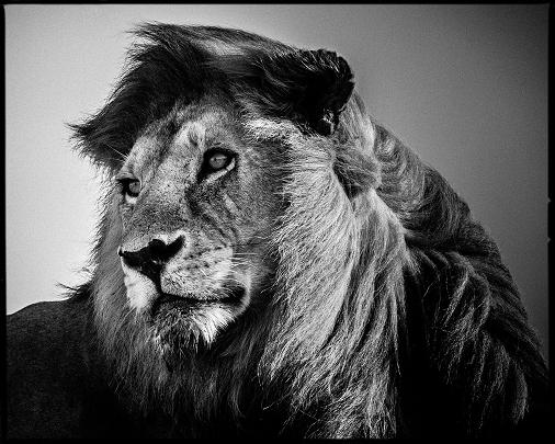 LAURENT BAHEUX_LION IN THE WIND 2.jpg