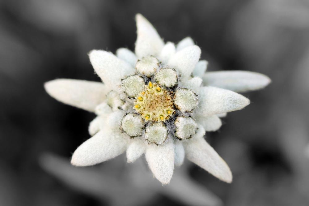 Edelweiss 1.jpg