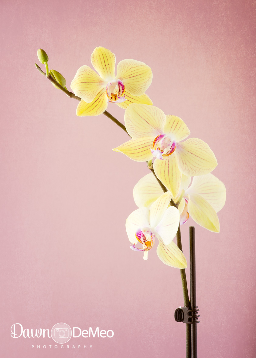 Day 33 -Feb 2: Delicate. I love orchids somuch, but I'm terrible atkeeping them alive!