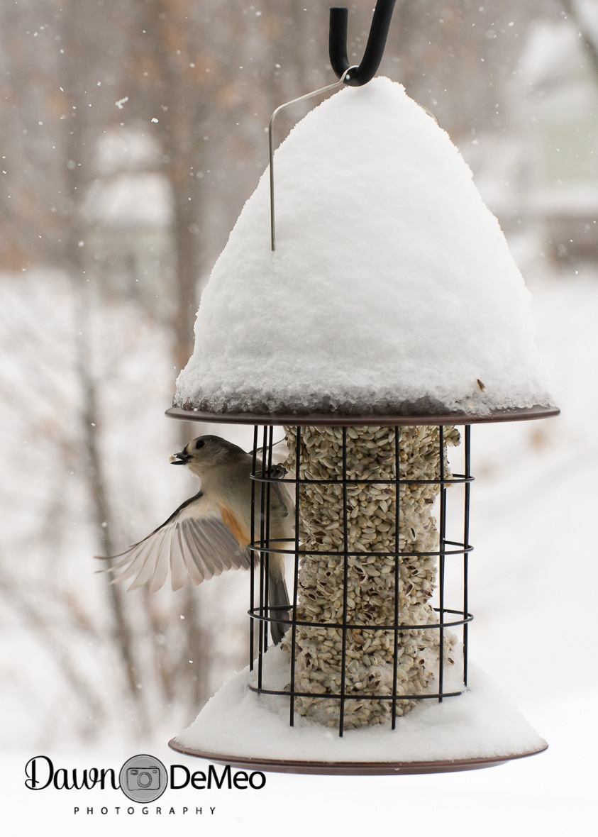 Day 40 - Feb 9: Vulnerable. It's is bitterly cold, windy, and it just won't stop snowing! Yet these poor fellas must eat, so they struggle through the wind to perch on the feeder and eat. I never tire of watching them!