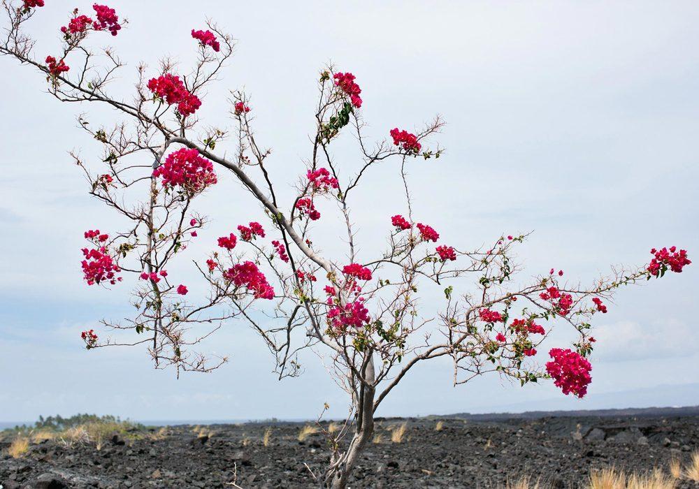 07-emily-nathan-tiny-atlas-quarterly-kona-hawaii-red-tree-L.jpg