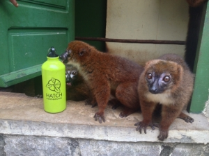 This lemur was curious about what a Hatch water bottle tasted like