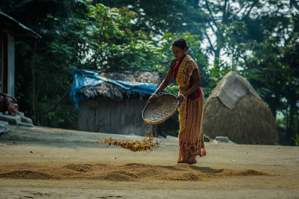 Baby Shikari, Taroni's wife, spreads their rice harvest out on the ground to dry.