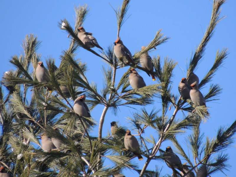 Bohemian waxwings are most often seen in high treetops.