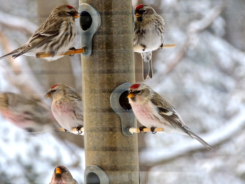 Redpolls are the size of goldfinches.