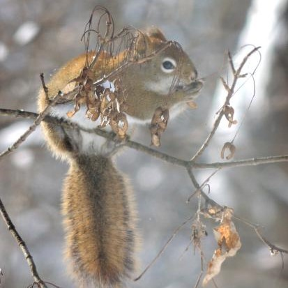 A red squirrel munching on a winter treat.