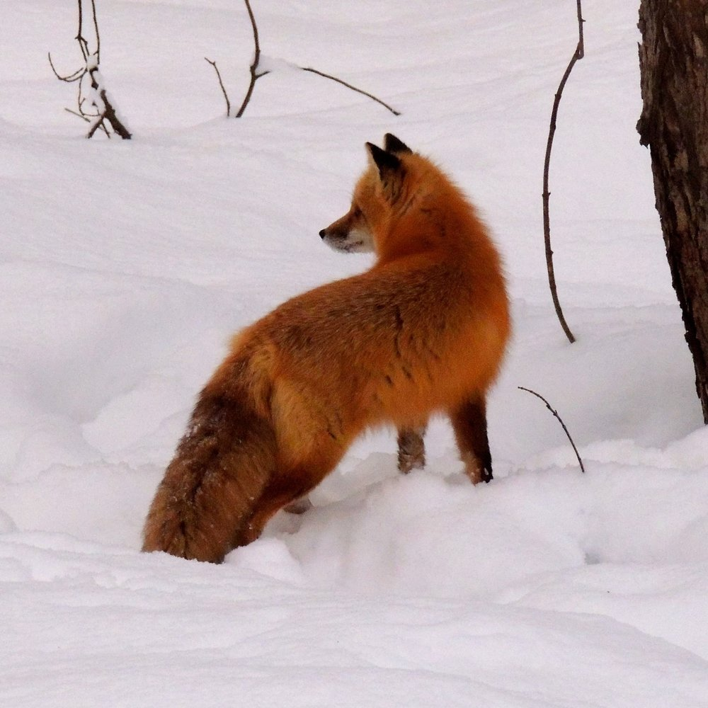 A red fox on the lookout.