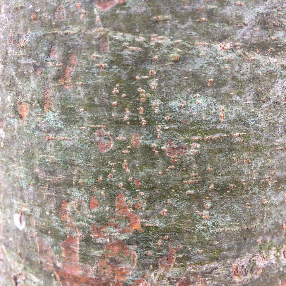 Pine 1.JPG