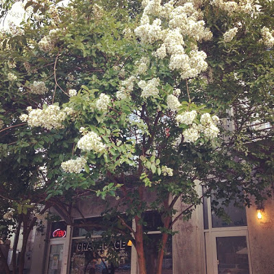 Desoto Row: Savannah,GA:  My favorite flowering trees that grew on my street in Chicago
