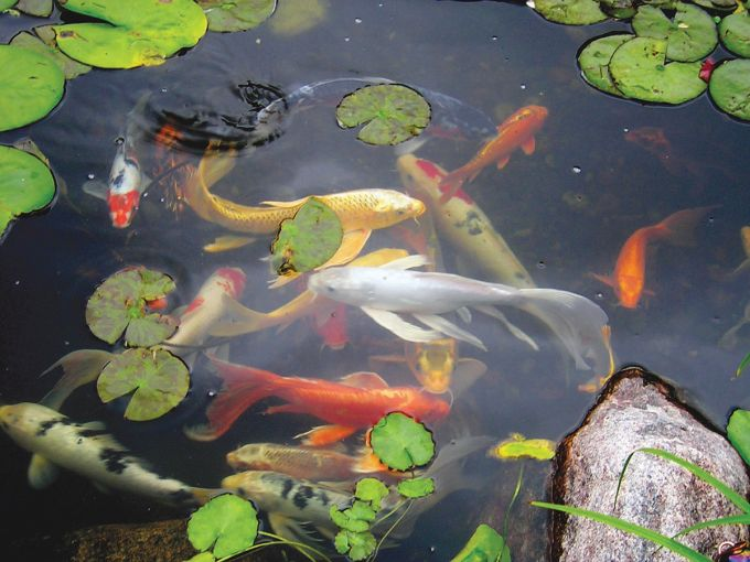 Twilight In Koi Pond >> Events Mark The Pond Guy