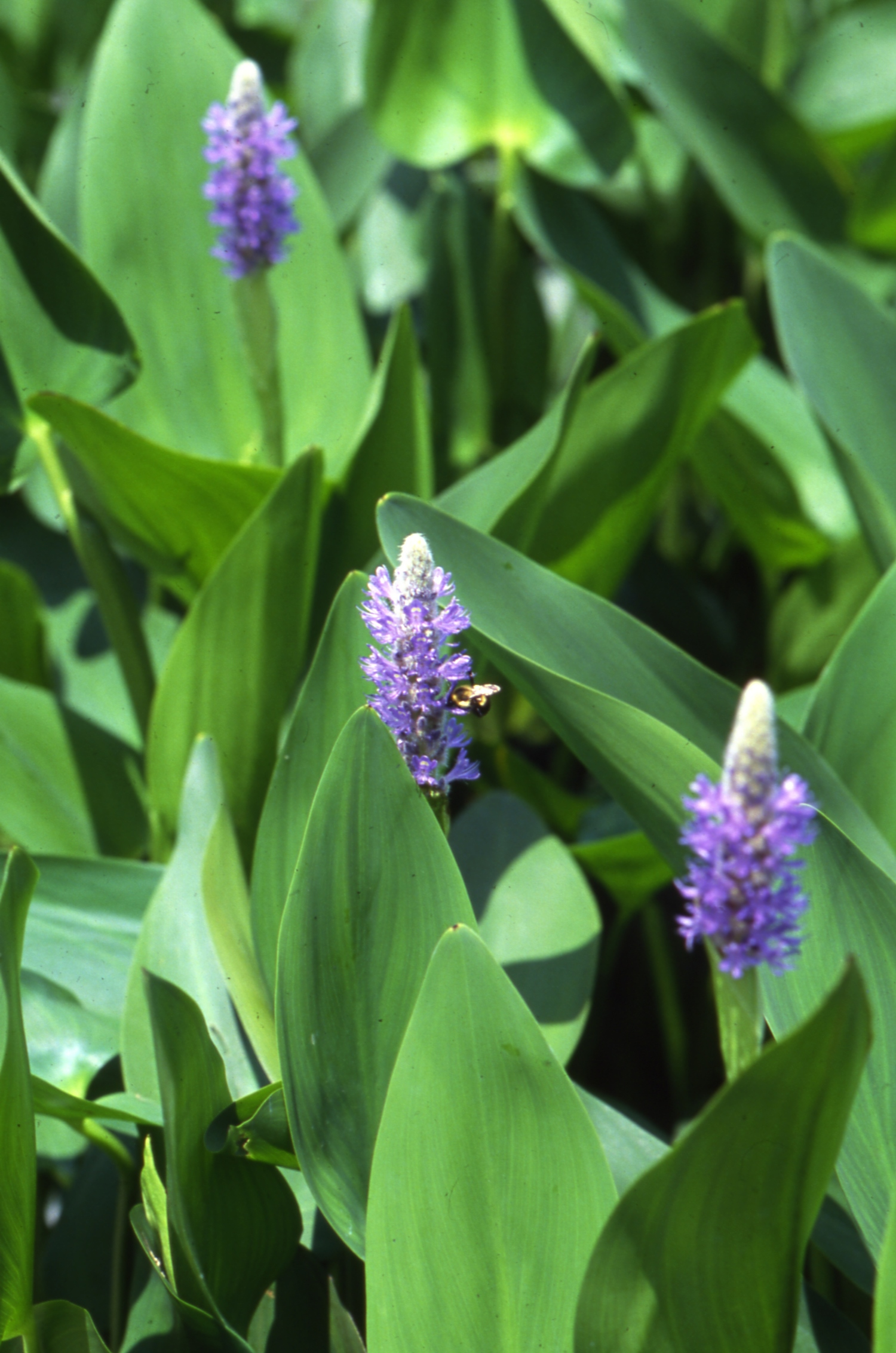 10 invasive pond plants you need to know the pond store 10 invasive pond plants you need to know izmirmasajfo