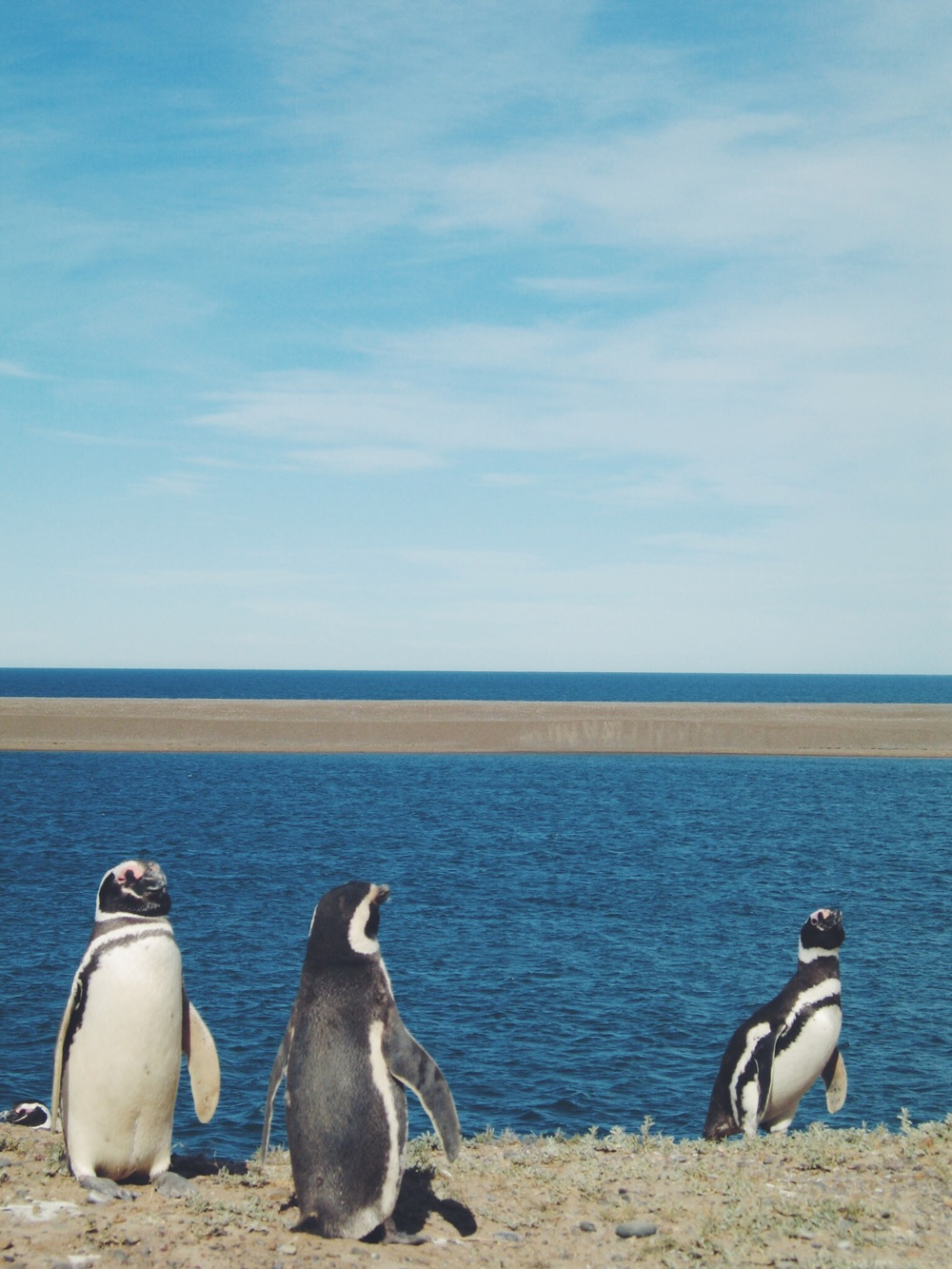 Magellanic Penguins chiling out