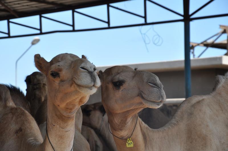 Smiling Camels