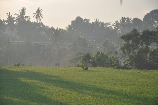 Balinese Man working in the rice paddies in early this morning.