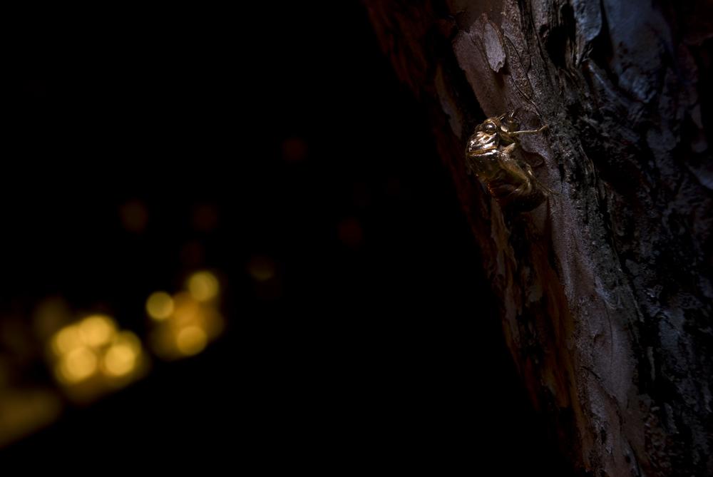 9-11-08 Cicada.jpg