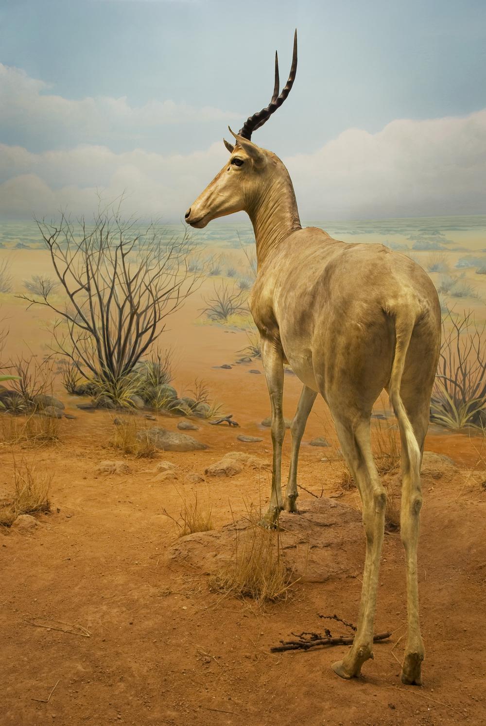 12-27-08 Antelope.jpg
