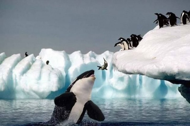 killer whale eating.jpg
