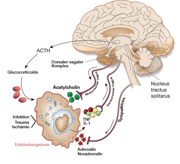- Der neuroinflammatrische Reflex kontrolliert die Ausschüttung proinflammatorischer Zytokine und somit die Neuroinflammation.
