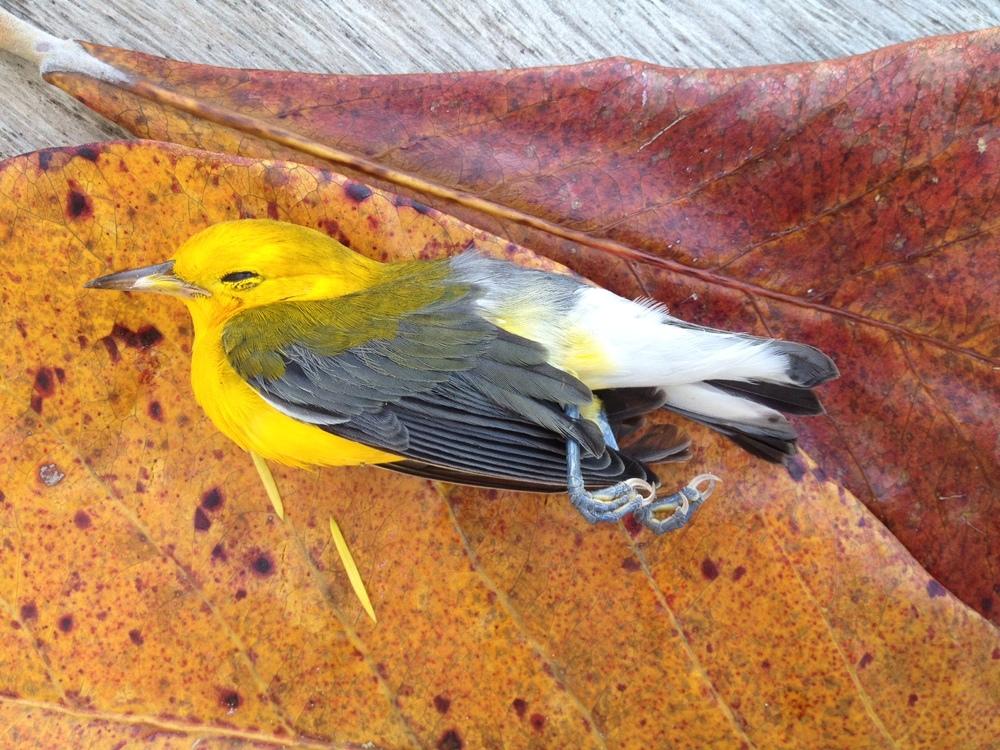 Our dear bird friend who died before yoga class.
