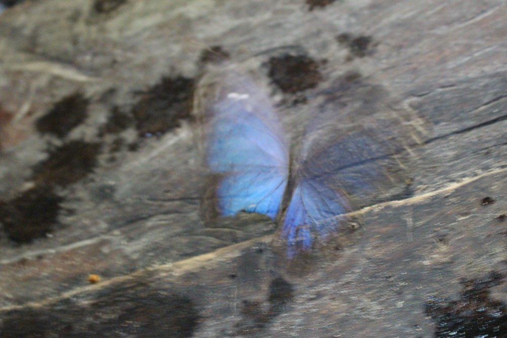 A blue butterfly taking off.