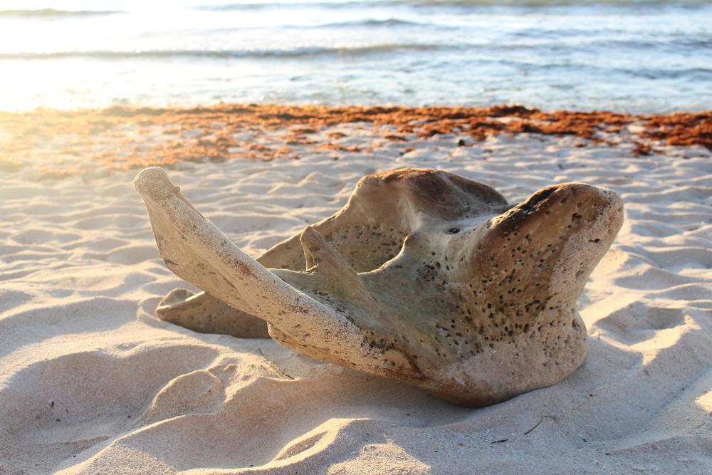 Sea turtle drift wood.