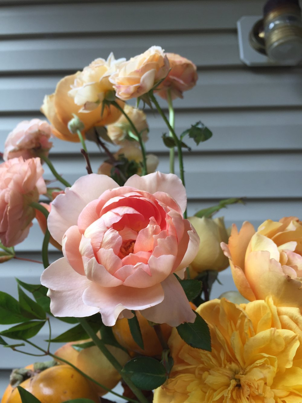pink yellow and peach garden roses | wild green yonder