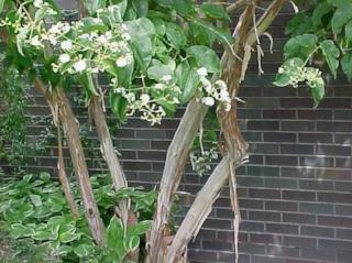 Heptacodium miconioides 1.jpg