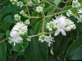 Heptacodium miconioides 2.jpg