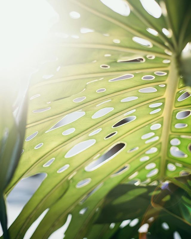 Thinking fondly of our last vacation. #fbf to some #costarica details. #honeymoon @kurtiskeber . . . #kellyelainephoto #leaf #nature #texture #tropical #lensflare #friday #friyay #pretty #motherearth #goldenhour
