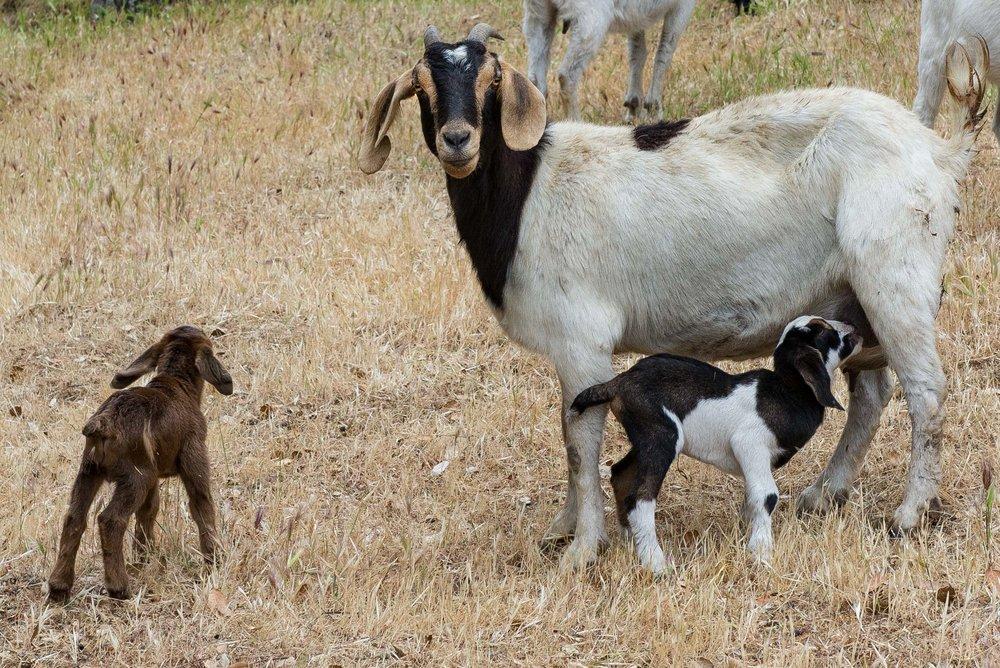 20180519 Goats-8593.jpg