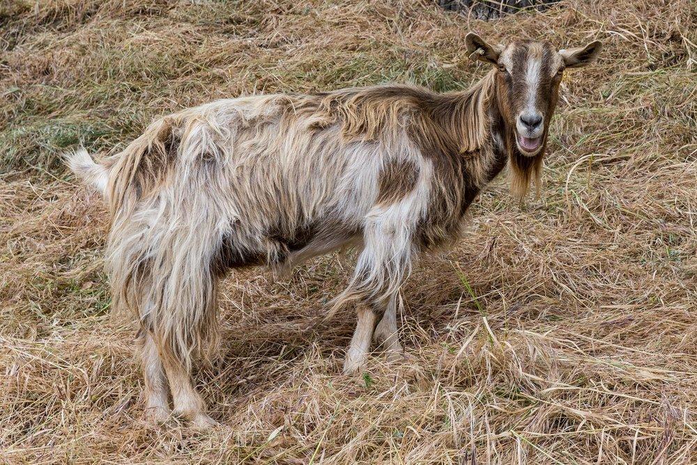 20180519 Goats-8480.jpg