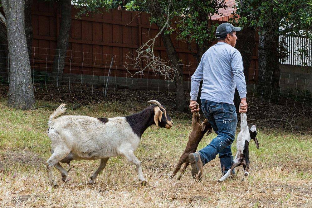20180519 Goats-8608.jpg