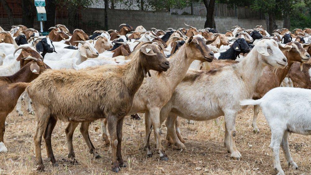 20180519 Goats-8594.jpg