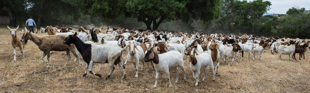 20180519 Goats-8619.jpg