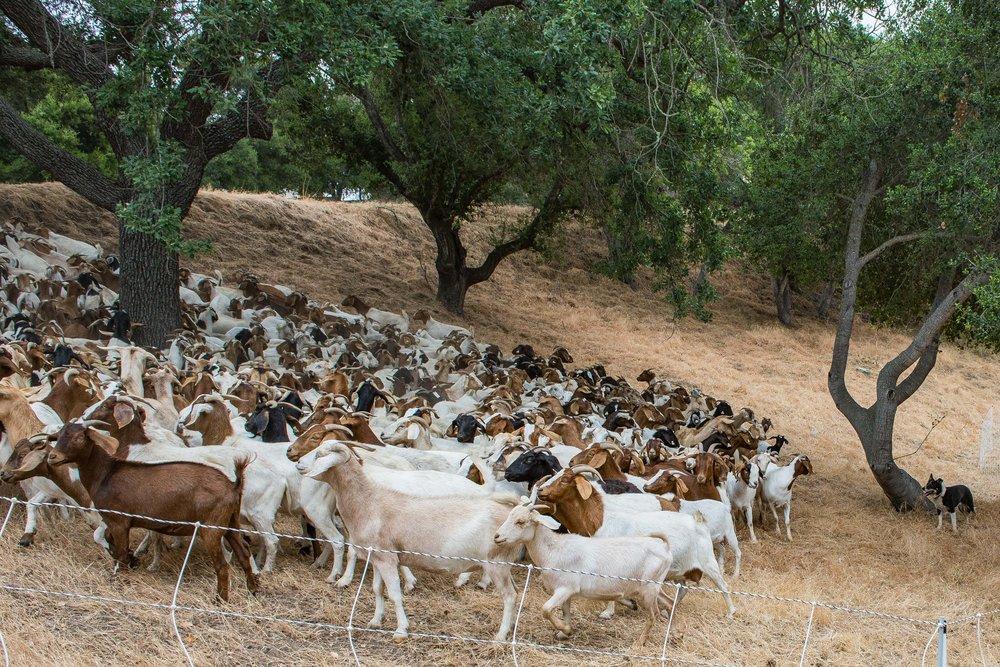 20180519 Goats-8679.jpg