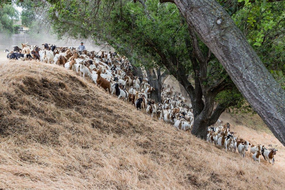 20180519 Goats-8693.jpg