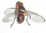 mosca-da-fruta (by Wikipedia)