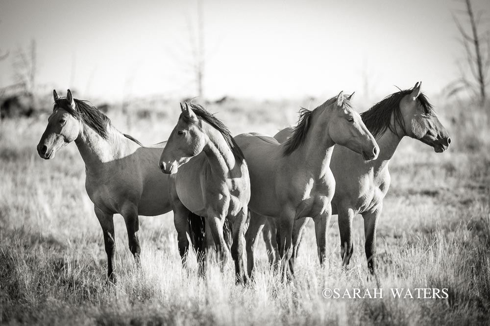Wild Kiger Mustangs, Steens Mountains, Oregon