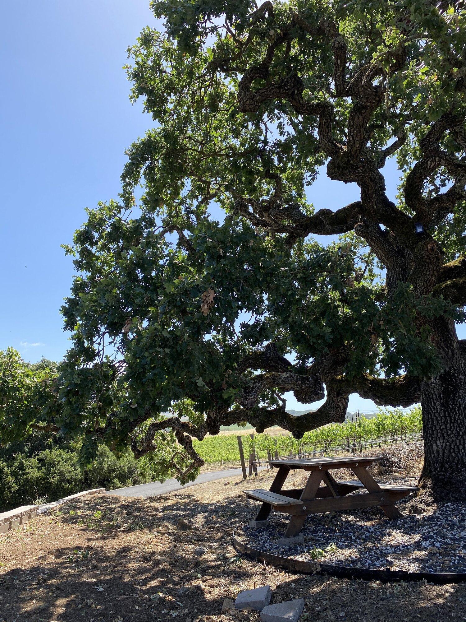 Oak Tree - Napa Valley