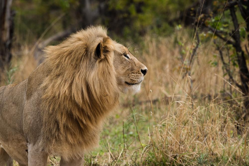 Moremi Lion