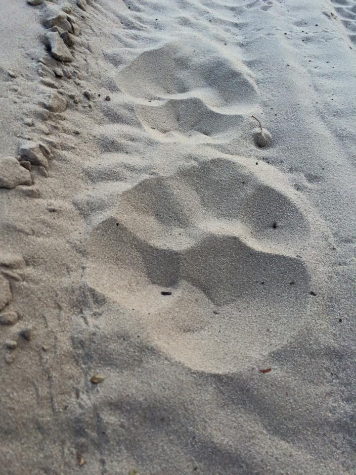 Lion tracks in the sand just next to our campsite in Passarge Valley