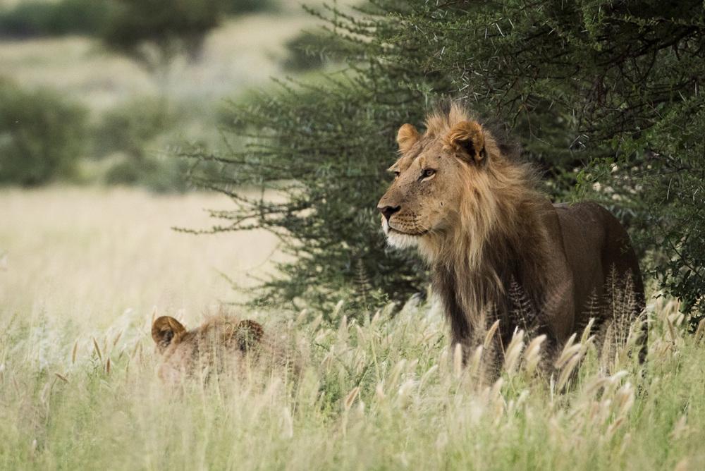 CKGR Male Lion